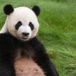 パンダや他の動物の動画を観ていると癒される
